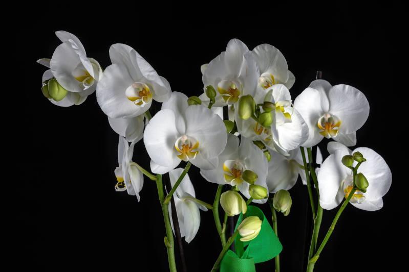Orquídea Phalenopsis